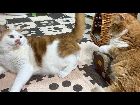 【マンチカンズ】尻尾で催眠術をかけられる猫 ~ cat's tale hypnosis ~