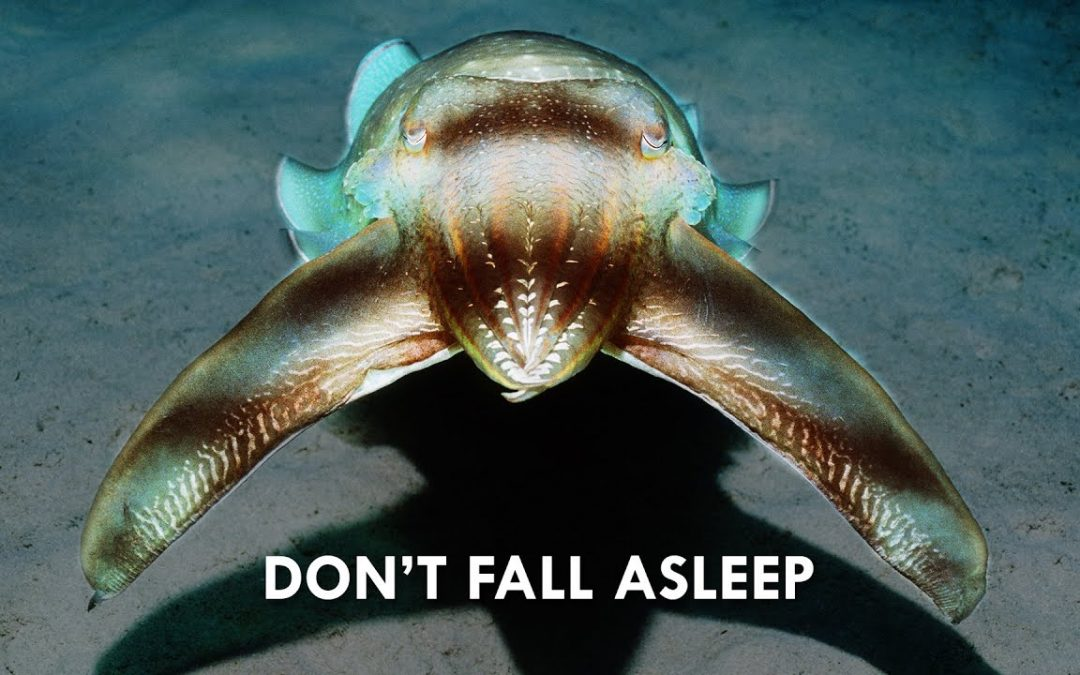 Cuttlefish use Hypnosis to Hunt